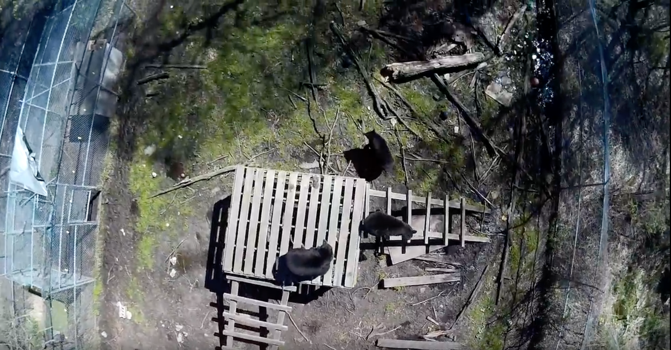 Drone's view of bears in enclosure